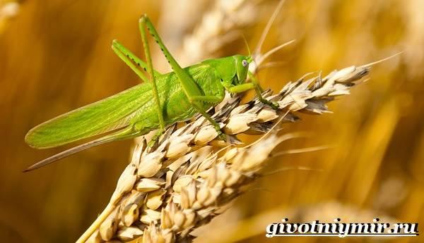 Саранча-насекомое-Образ-жизни-и-среда-обитания-саранчи-7
