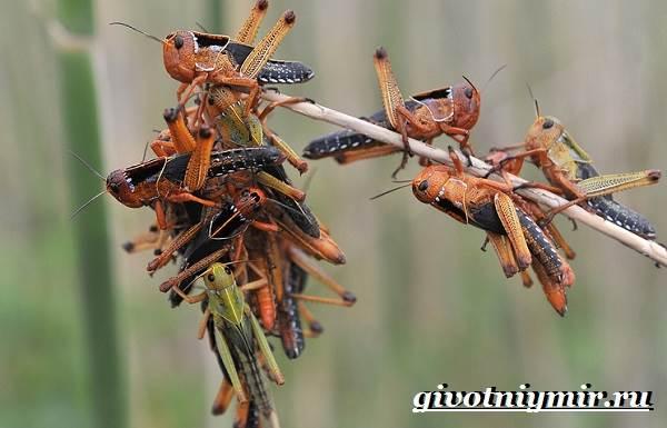 Саранча-насекомое-Образ-жизни-и-среда-обитания-саранчи-8