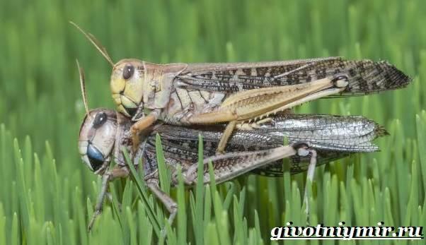 Саранча-насекомое-Образ-жизни-и-среда-обитания-саранчи-9