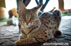 Саванна кошка. Описание, особенности и уход за породой кошек саванна