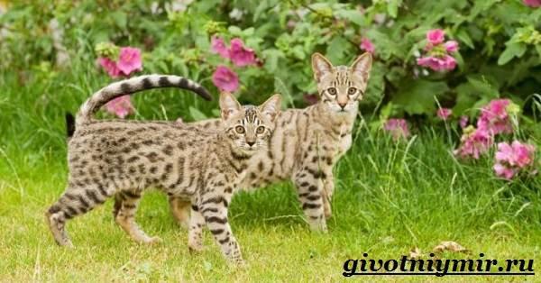 Саванна-кошка-Описание-особенности-и-уход-за-породой-кошек-саванна-2