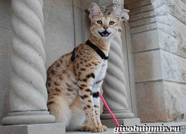 Саванна-кошка-Описание-особенности-и-уход-за-породой-кошек-саванна-3