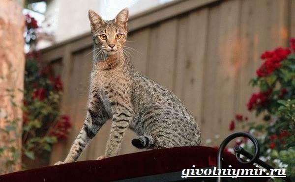 Саванна-кошка-Описание-особенности-и-уход-за-породой-кошек-саванна-4