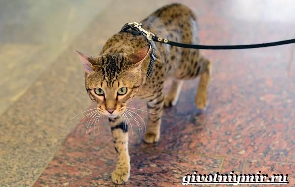 Саванна-кошка-Описание-особенности-и-уход-за-породой-кошек-саванна-5