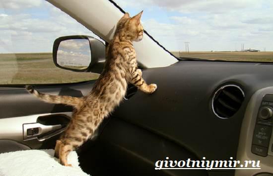 Саванна-кошка-Описание-особенности-и-уход-за-породой-кошек-саванна-6