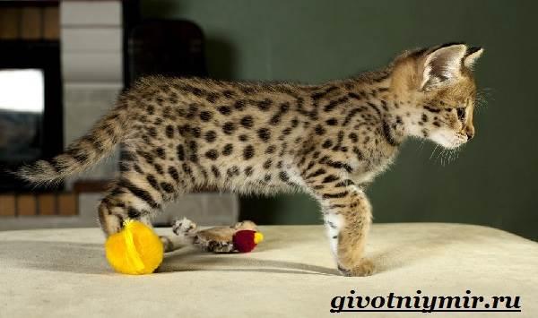 Саванна-кошка-Описание-особенности-и-уход-за-породой-кошек-саванна-7