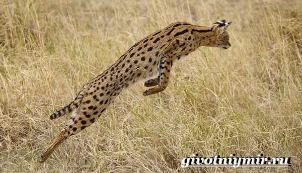 Сервал-кошка-Образ-жизни-и-среда-обитания-кошки-сервал-5