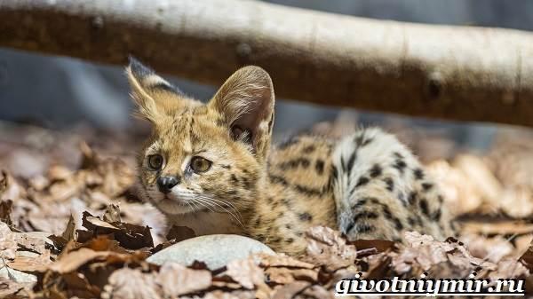 Сервал-кошка-Образ-жизни-и-среда-обитания-кошки-сервал-8