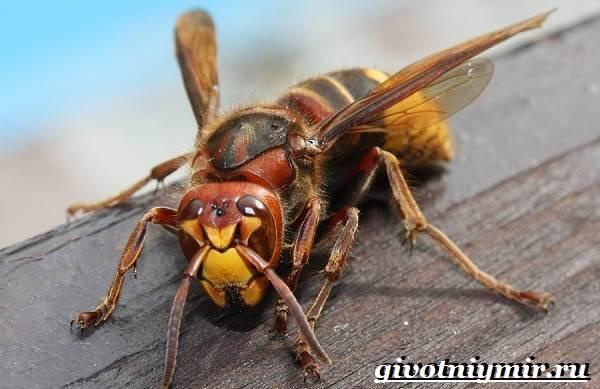 Шершень-насекомое-Образ-жизни-и-среда-обитания-шершня-1