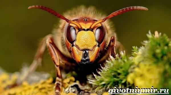 Шершень-насекомое-Образ-жизни-и-среда-обитания-шершня-4