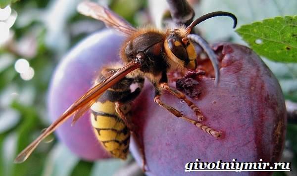 Шершень-насекомое-Образ-жизни-и-среда-обитания-шершня-5