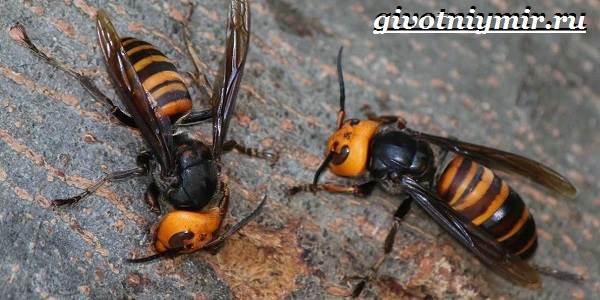 Шершень-насекомое-Образ-жизни-и-среда-обитания-шершня-7