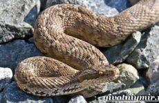 Щитомордник змея. Образ жизни и среда обитания щитомордника