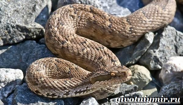 Щитомордник-змея-Образ-жизни-и-среда-обитания-щитомордника-1