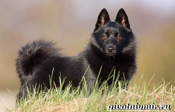 Шипперке-порода-собак-Особенности-цена-и-уход-за-шипперке-1