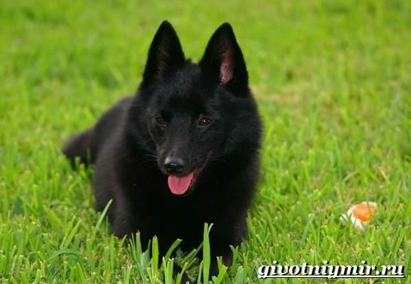 Шипперке-порода-собак-Особенности-цена-и-уход-за-шипперке-10