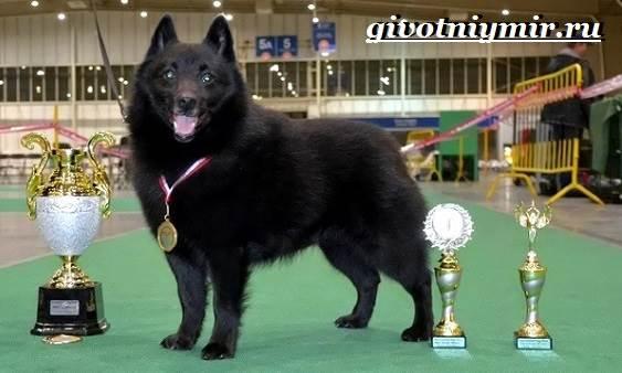 Шипперке-порода-собак-Особенности-цена-и-уход-за-шипперке-2