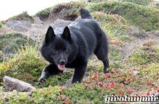 Шипперке порода собак. Особенности, цена и уход за шипперке