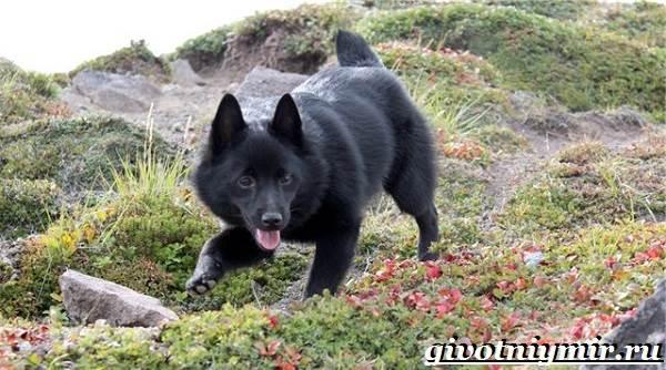 Шипперке-порода-собак-Особенности-цена-и-уход-за-шипперке-3