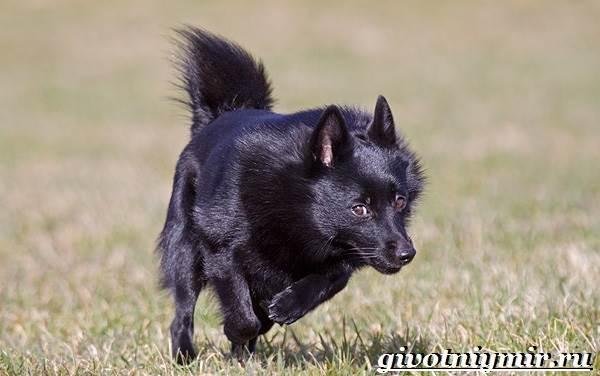 Шипперке-порода-собак-Особенности-цена-и-уход-за-шипперке-4