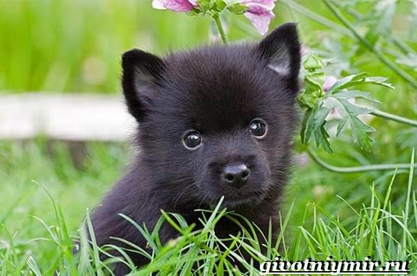 Шипперке-порода-собак-Особенности-цена-и-уход-за-шипперке-5