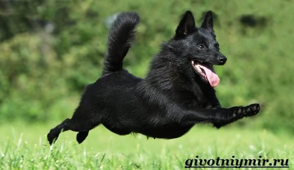 Шипперке-порода-собак-Особенности-цена-и-уход-за-шипперке-7