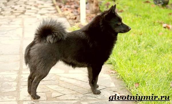 Шипперке-порода-собак-Особенности-цена-и-уход-за-шипперке-9