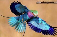 Сизоворонка птица. Образ жизни и среда обитания сизоворонки