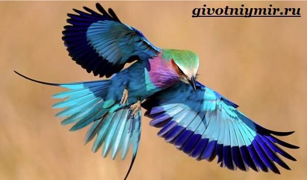 Сизоворонка-птица-Образ-жизни-и-среда-обитания-сизоворонки-1