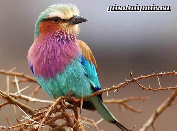 Сизоворонка-птица-Образ-жизни-и-среда-обитания-сизоворонки-2