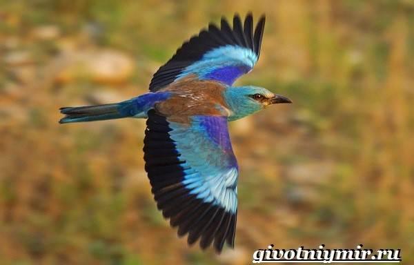 Сизоворонка-птица-Образ-жизни-и-среда-обитания-сизоворонки-4