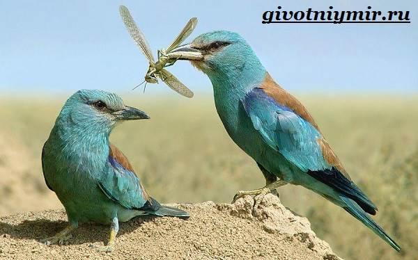 Сизоворонка-птица-Образ-жизни-и-среда-обитания-сизоворонки-5