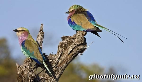 Сизоворонка-птица-Образ-жизни-и-среда-обитания-сизоворонки-6