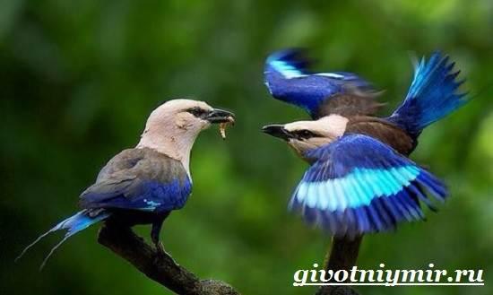 Сизоворонка-птица-Образ-жизни-и-среда-обитания-сизоворонки-7