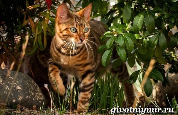 Тойгер-кошка-Описание-особенности-цена-и-уход-за-породой-тойгер-1