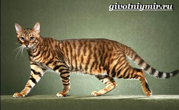 Тойгер-кошка-Описание-особенности-цена-и-уход-за-породой-тойгер-2