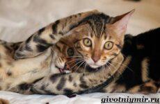 Тойгер кошка. Описание, особенности, цена и уход за породой тойгер