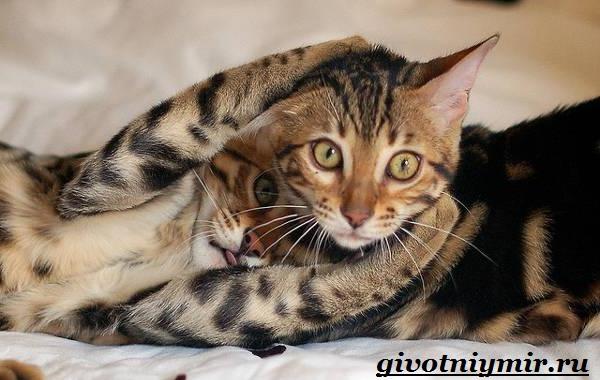Тойгер-кошка-Описание-особенности-цена-и-уход-за-породой-тойгер-3