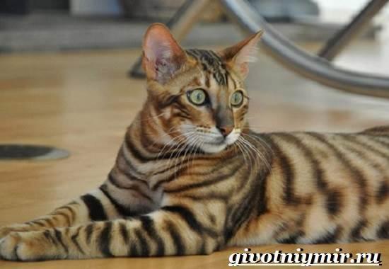 Тойгер-кошка-Описание-особенности-цена-и-уход-за-породой-тойгер-4