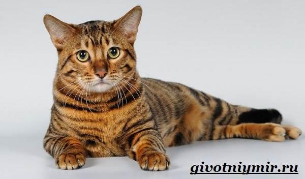 Тойгер-кошка-Описание-особенности-цена-и-уход-за-породой-тойгер-5