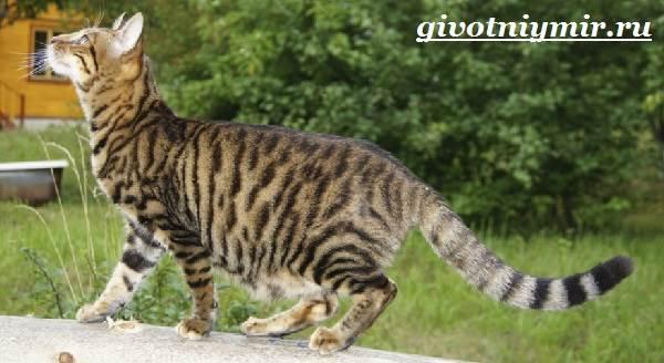 Тойгер-кошка-Описание-особенности-цена-и-уход-за-породой-тойгер-6