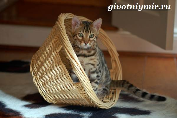 Тойгер-кошка-Описание-особенности-цена-и-уход-за-породой-тойгер-7
