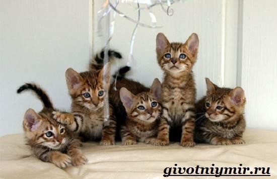 Тойгер-кошка-Описание-особенности-цена-и-уход-за-породой-тойгер-8