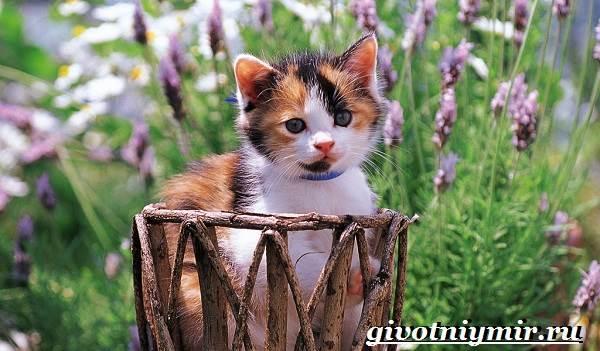 Трехцветная-кошка-Особенности-приметы-и-характер-трехцветных-кошек-1