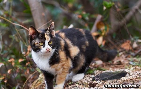Трехцветная-кошка-Особенности-приметы-и-характер-трехцветных-кошек-10