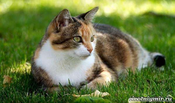 Трехцветная-кошка-Особенности-приметы-и-характер-трехцветных-кошек-12