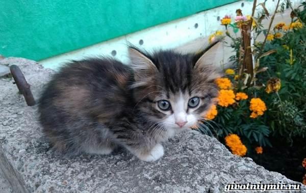Трехцветная-кошка-Особенности-приметы-и-характер-трехцветных-кошек-13