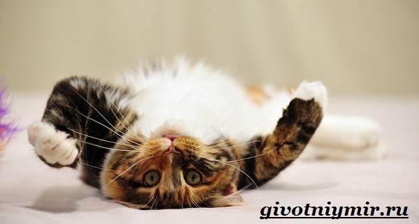 Трехцветная-кошка-Особенности-приметы-и-характер-трехцветных-кошек-5