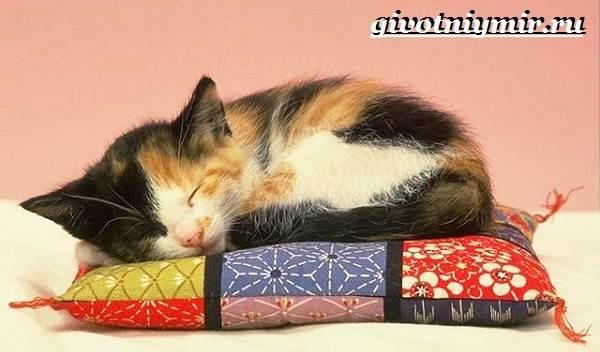 Трехцветная-кошка-Особенности-приметы-и-характер-трехцветных-кошек-6