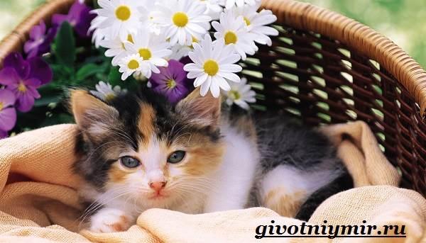 Трехцветная-кошка-Особенности-приметы-и-характер-трехцветных-кошек-8